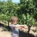 Picking Grapes And Trawling Markets At Lourensford